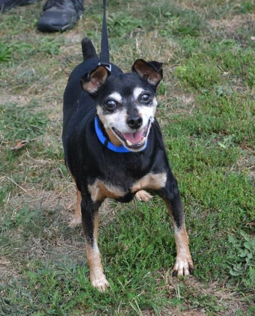 Mingo Is An Adoptable Miniature Pinscher Searching For A Forever
