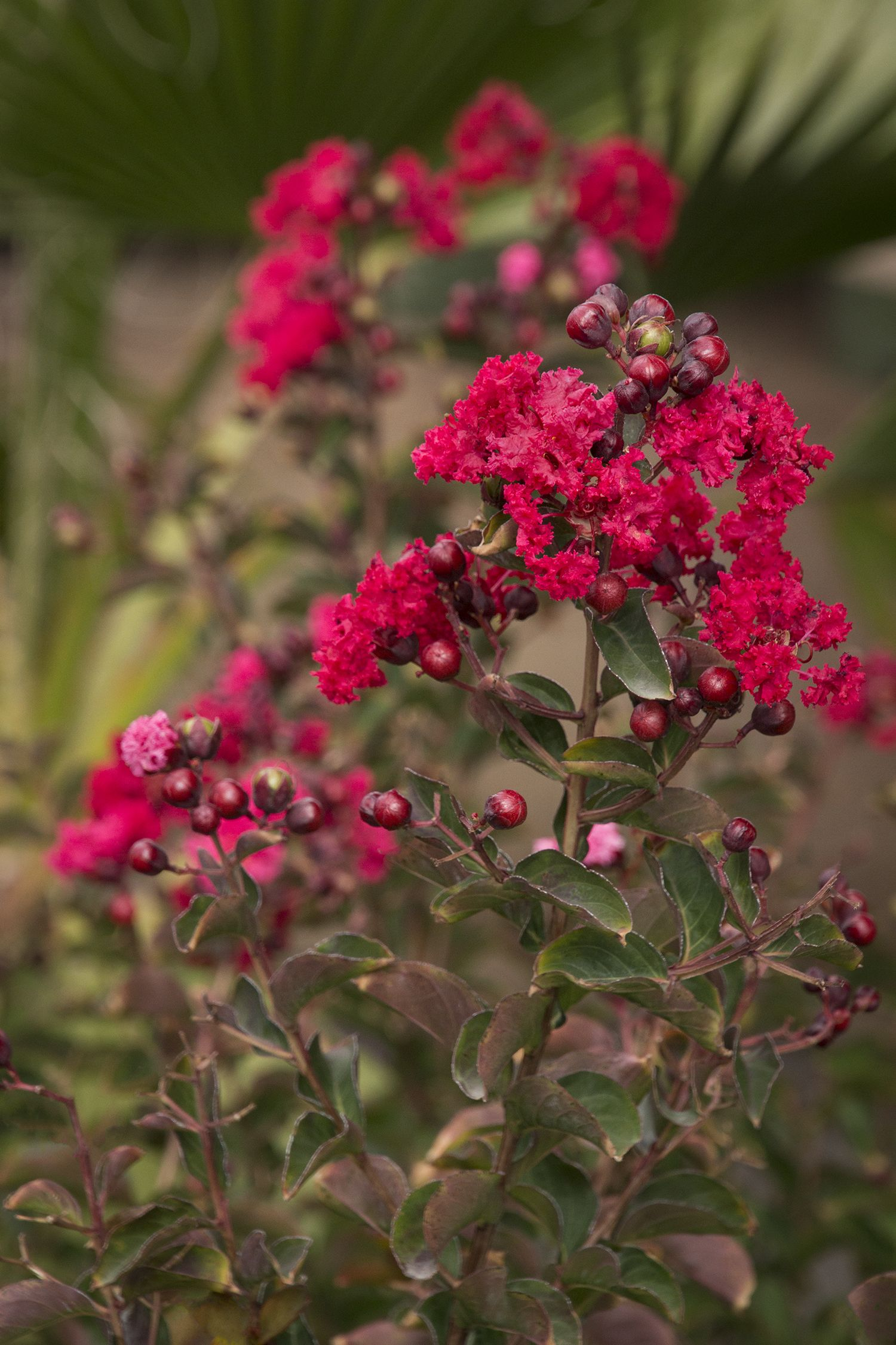 Attractive Ornamental Shrub Or Small Tree With Smooth Peeling Bark
