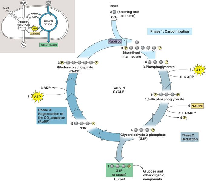 The Calvin Cycle Diagram Teaching Biology Pinterest