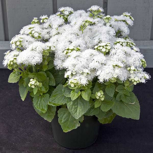 Cloud Nine White Ageratum Flower Seeds Annual Flowers Beautiful Flowers