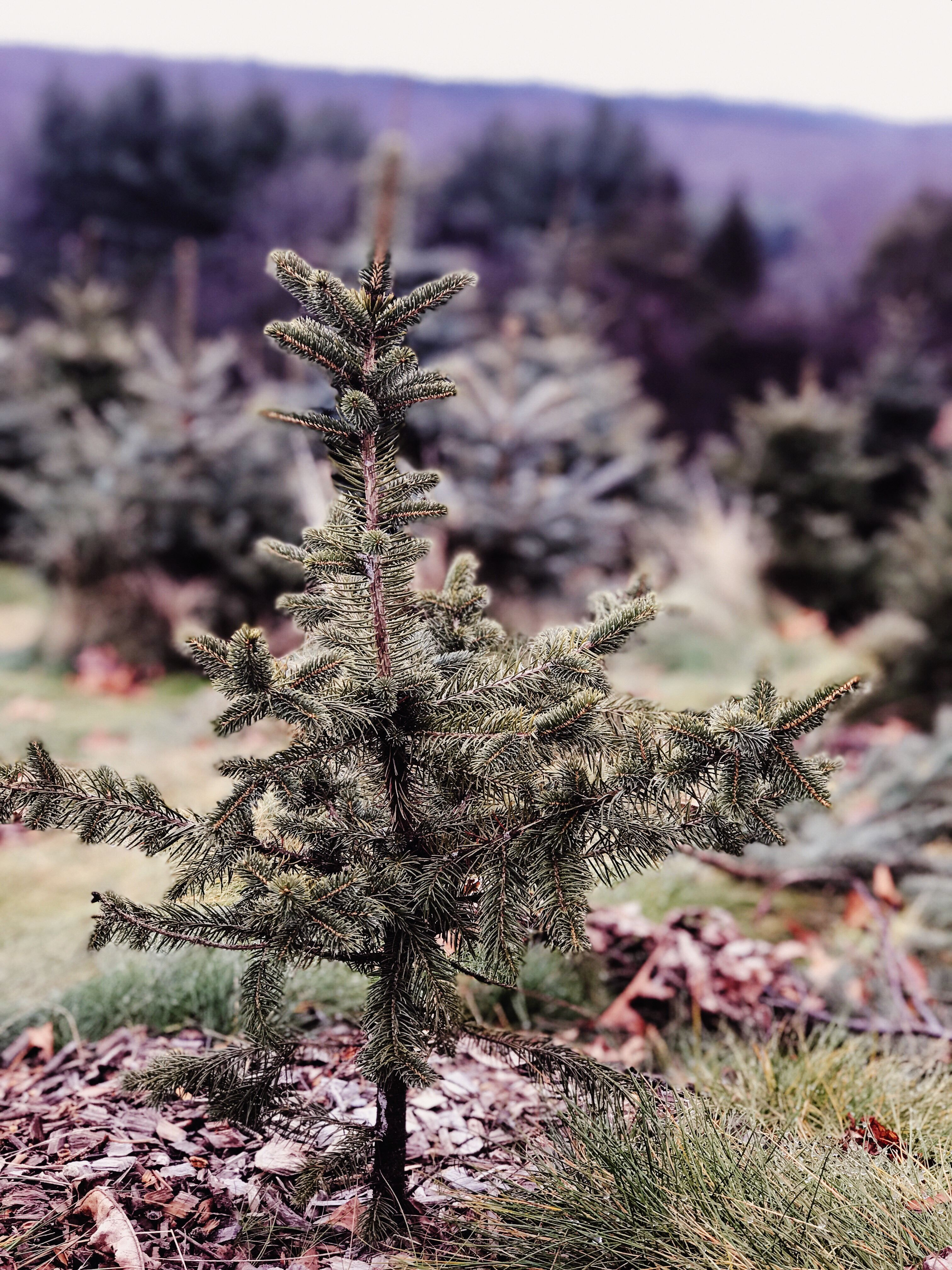 Real or Artificial? Which Christmas Tree is Better for the
