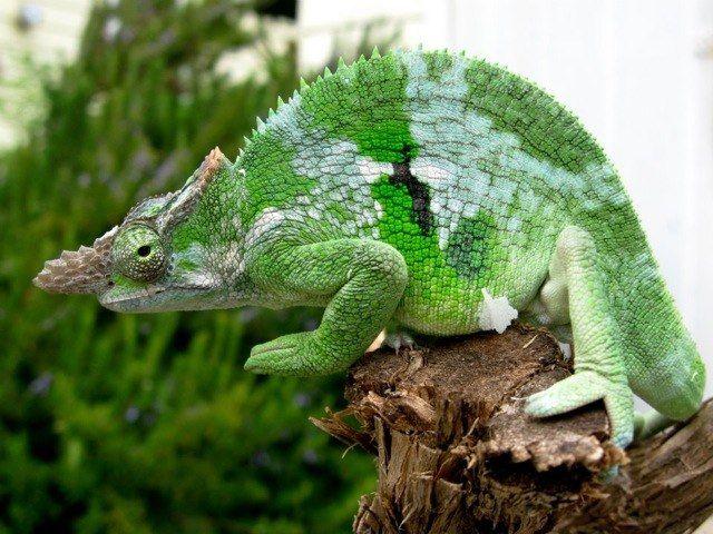 Kinyongia Multituberculata Or Fischer S Chameleon Chameleon