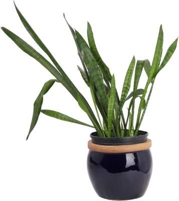 If your thumb is everything but green, growing a snake plant (Sansevieria spp.) can be ideal because it requires minimal care and is hard to kill. Also called mother-in-law's tongue, this African ...