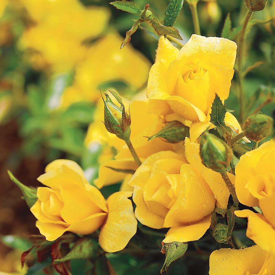 Yellow Simplicity Hedge Rose In 2020 Hybrid Tea Roses Rose Varieties Shrub Roses