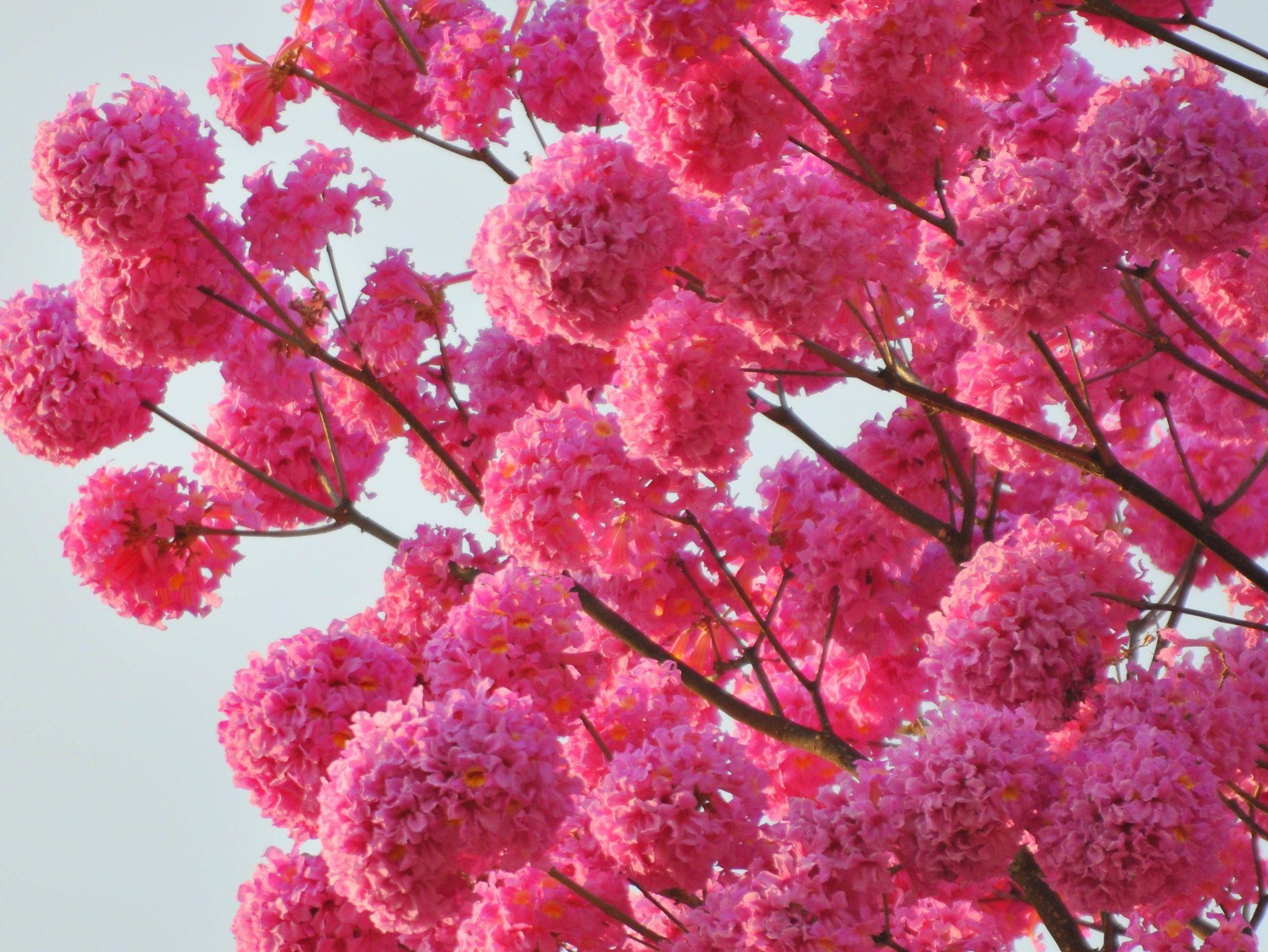 Pink Tabebuia Tabebuia Avellanedae In Full Bloom Trees To Plant Flowering Trees Bloom
