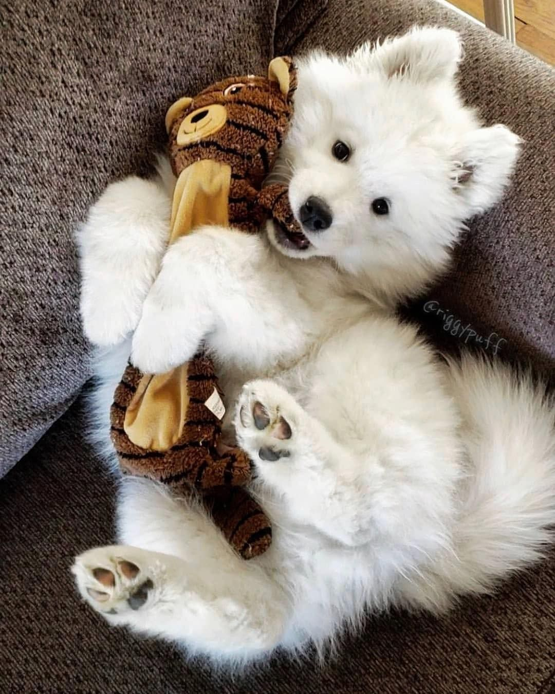 Samoyed Dog is One of the Most Stunningly Beautiful Dog Breeds #cutepuppies