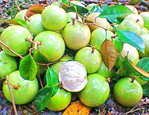 Caimito (Star Apple) | Star apple, Fruit, Organic seeds