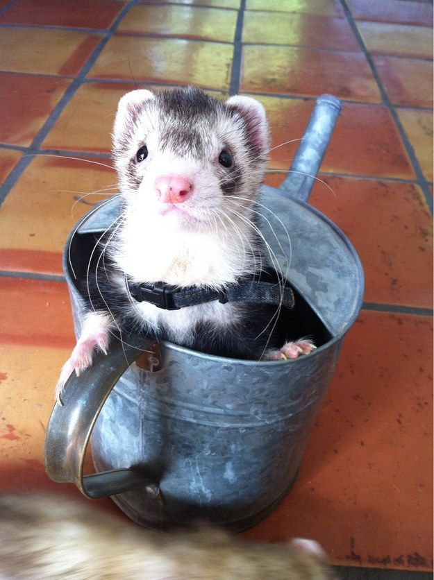 They are helpful in gardening!   19 Reasons Ferrets Make The Most Adorable Pets
