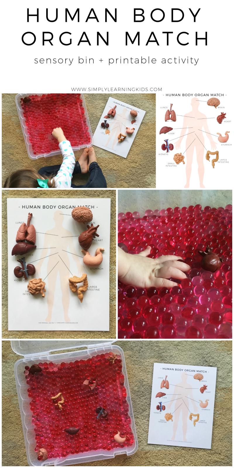 Human Body Organ Match Activity | Human body organs, Human ...