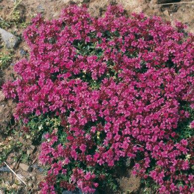 Teppich-Thymian rosa\/rot Thymus serphyllum u0027Coccineus - pflanzen fur steingarten immergrun