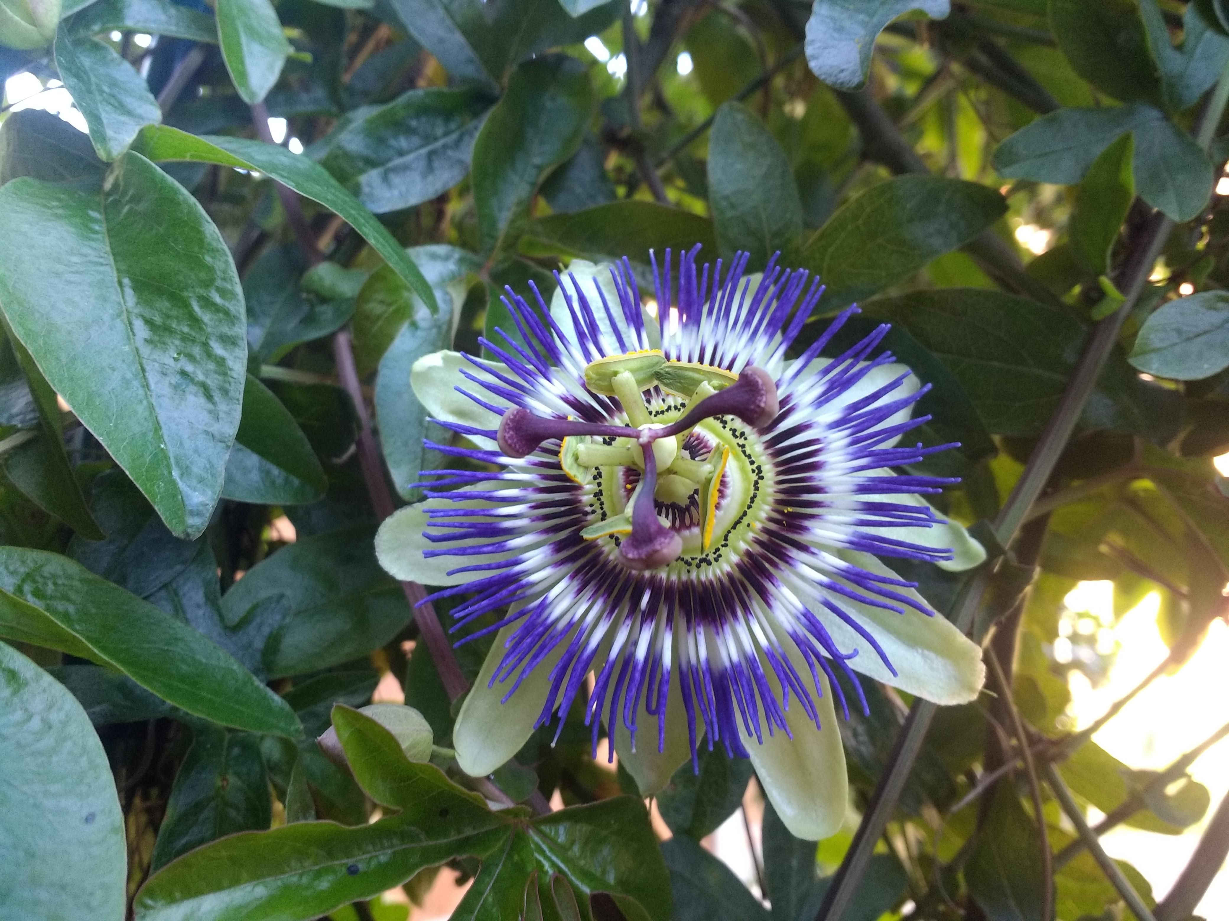 Our First Passion Flower After Our Arch Collapsed In High Winds At The Beginning Of The Year Gardening Garden Diy Home Passion Flower Flowers Horticulture