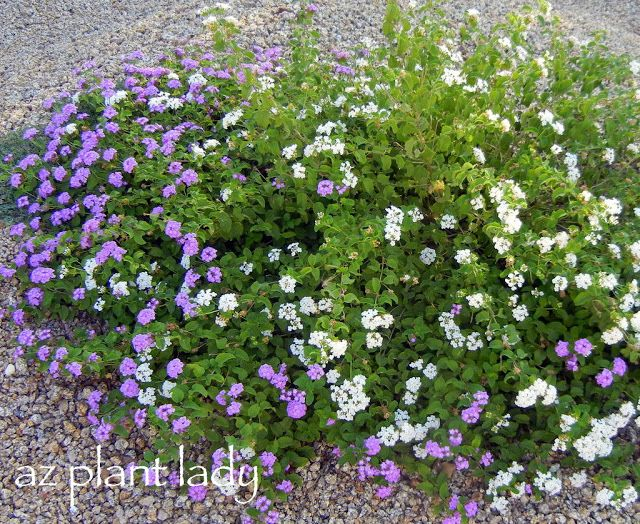 Ramblings From A Desert Garden Plants Ground Cover Plants Xeriscape Front Yard