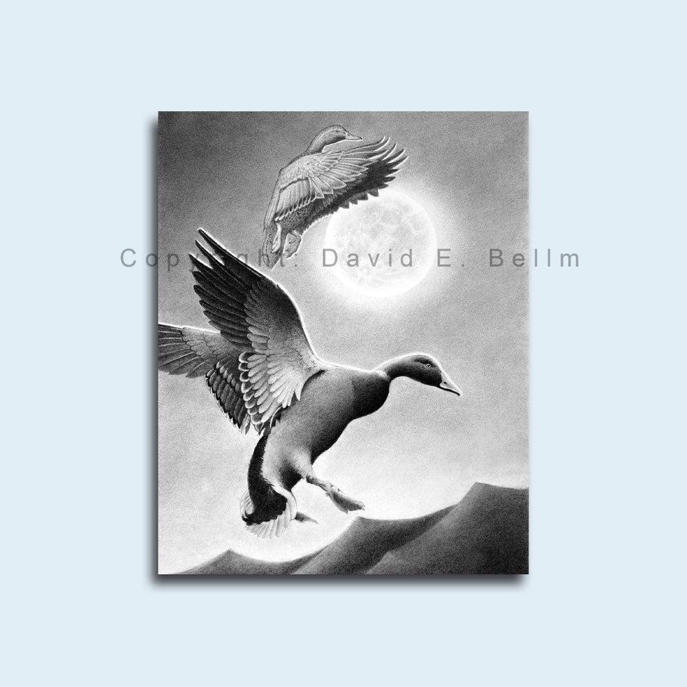 mallard duck pencil drawing giclee print by david e bellm