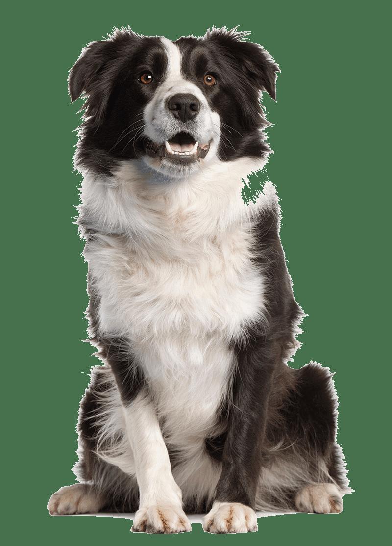Golden Retriever Images Puppy Dog Border Collie Border Collie Puppies Puppy Facts
