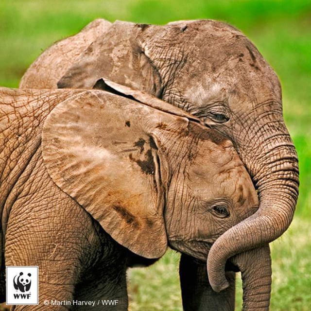 Celebrate with us the LARGEST living land mammals... – WWF