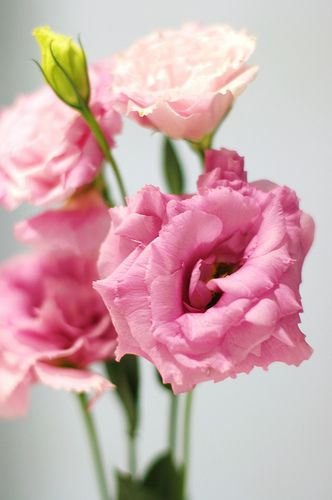 Pink Lisianthus Types Of Flowers Light Pink Flowers Colorful