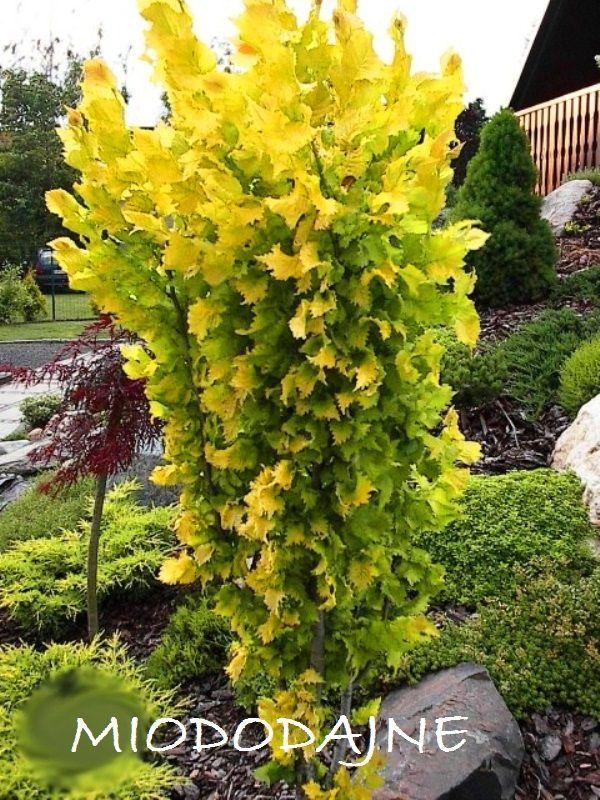 Zloty Kolumnowy Buk Dawyck Gold 5395194044 Oficjalne Archiwum Allegro Garden Plants Shrubs