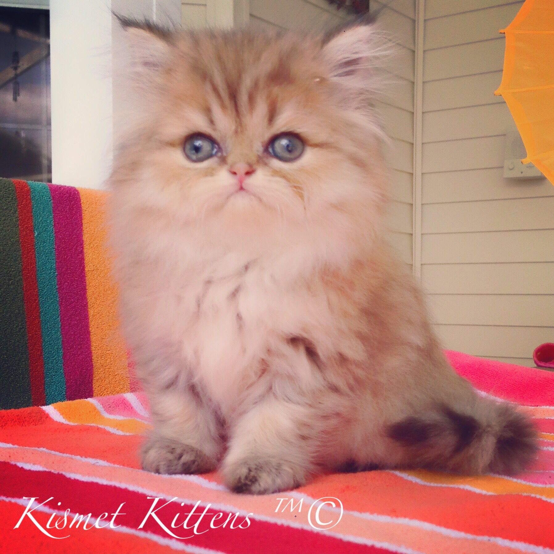 ❤️Kismet Kittens For Golden Chinchilla Shaded Doll Face Persian