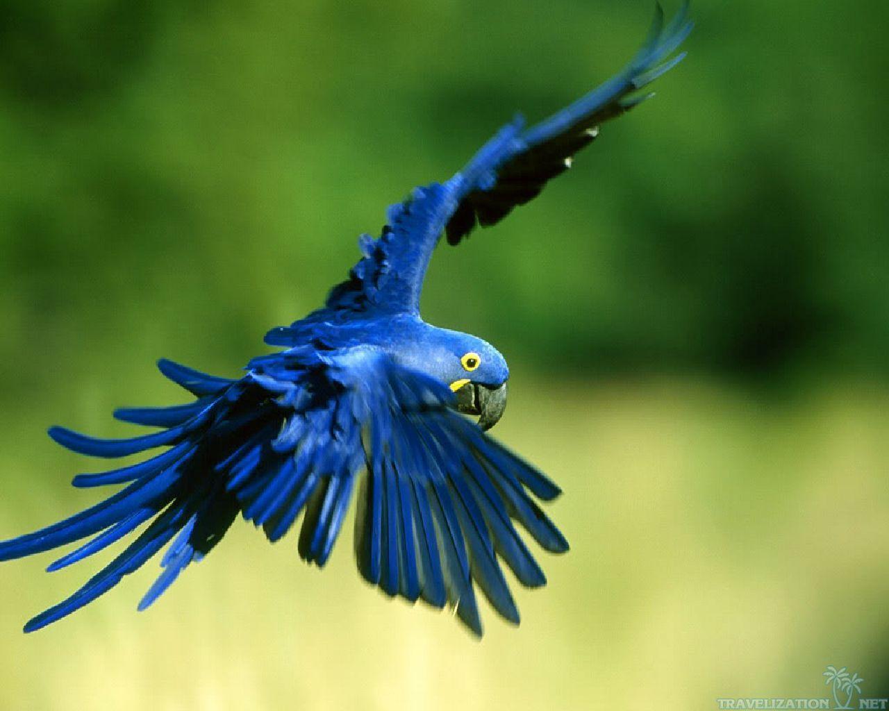 Blue Birds Flying | Birds flying, Birds, Parrot flying |Blue Macaw Parrot Flying