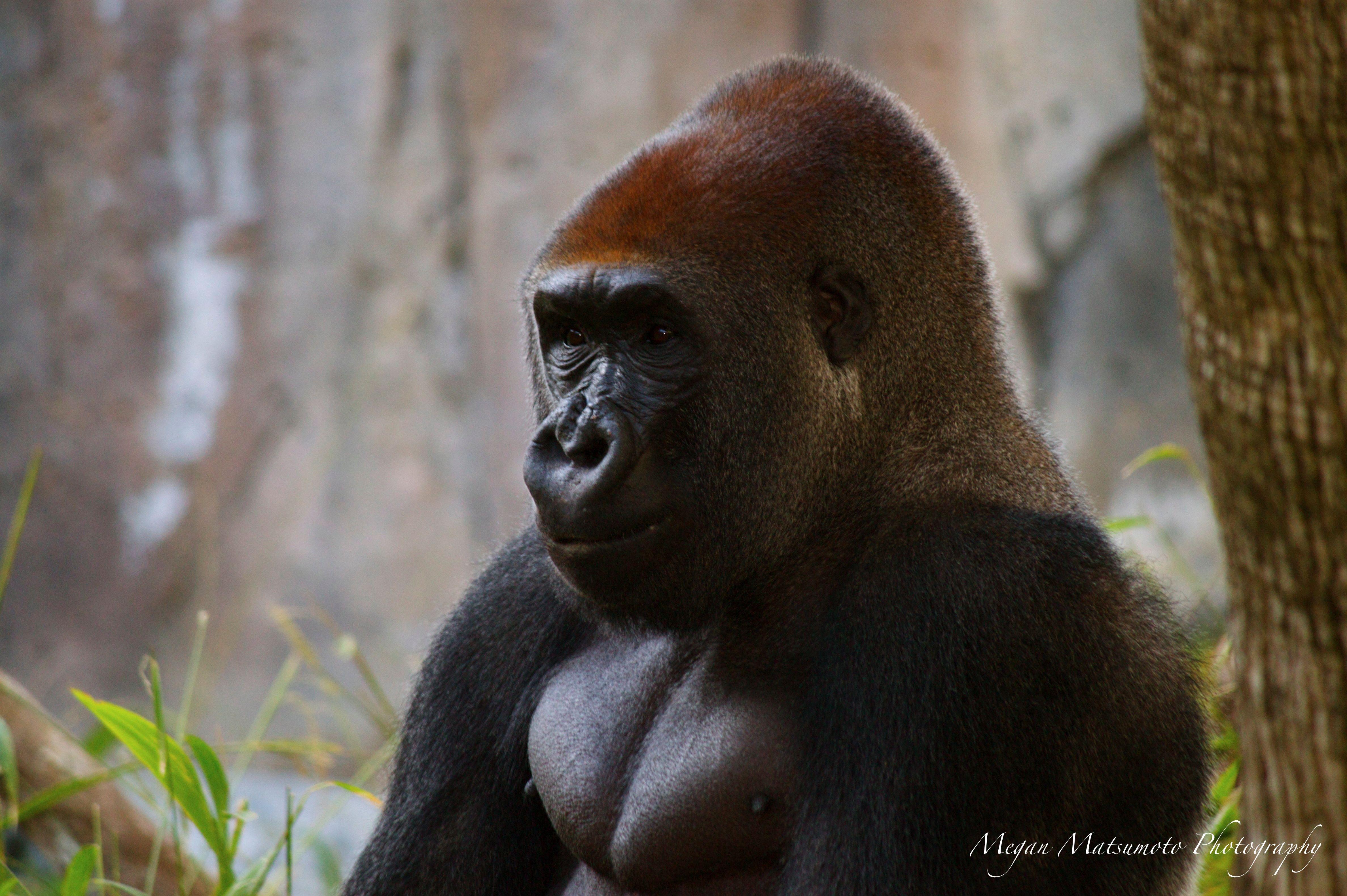 siberian tiger vs silverback gorilla wild animal fights
