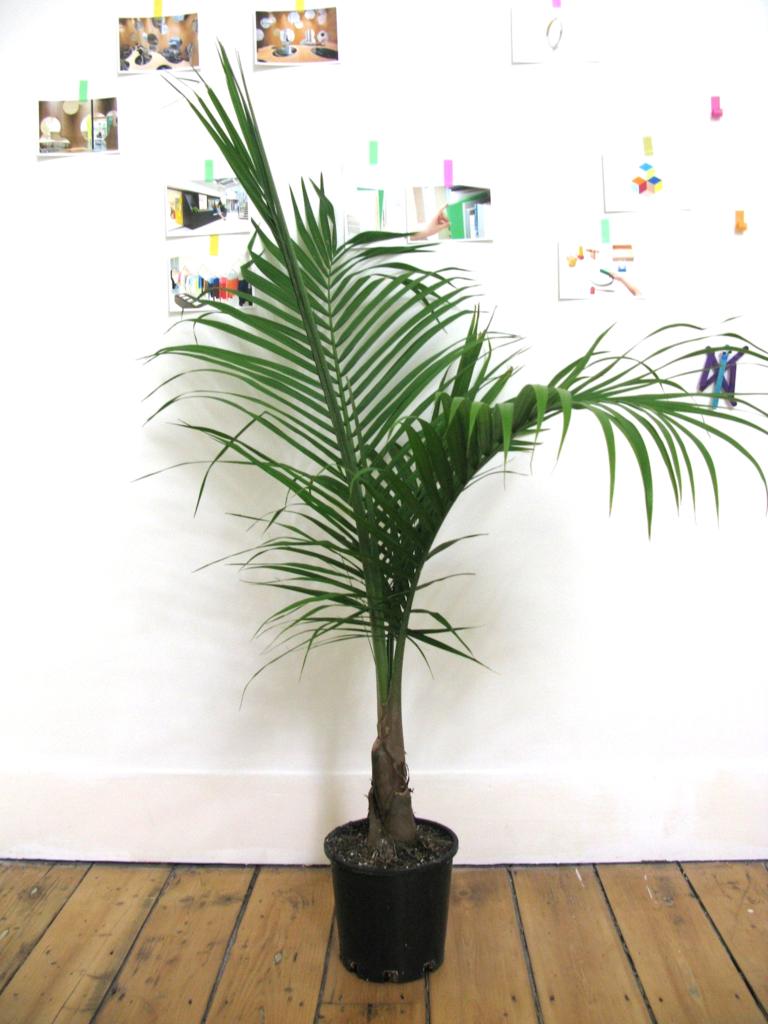 Howea forsteriana Kentia Palm | Kentia palm, Howea, Plants