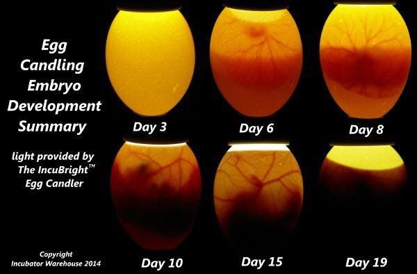 Candling chart | Egg candling, Candling chicken eggs ... |Chicken Hatching Chart