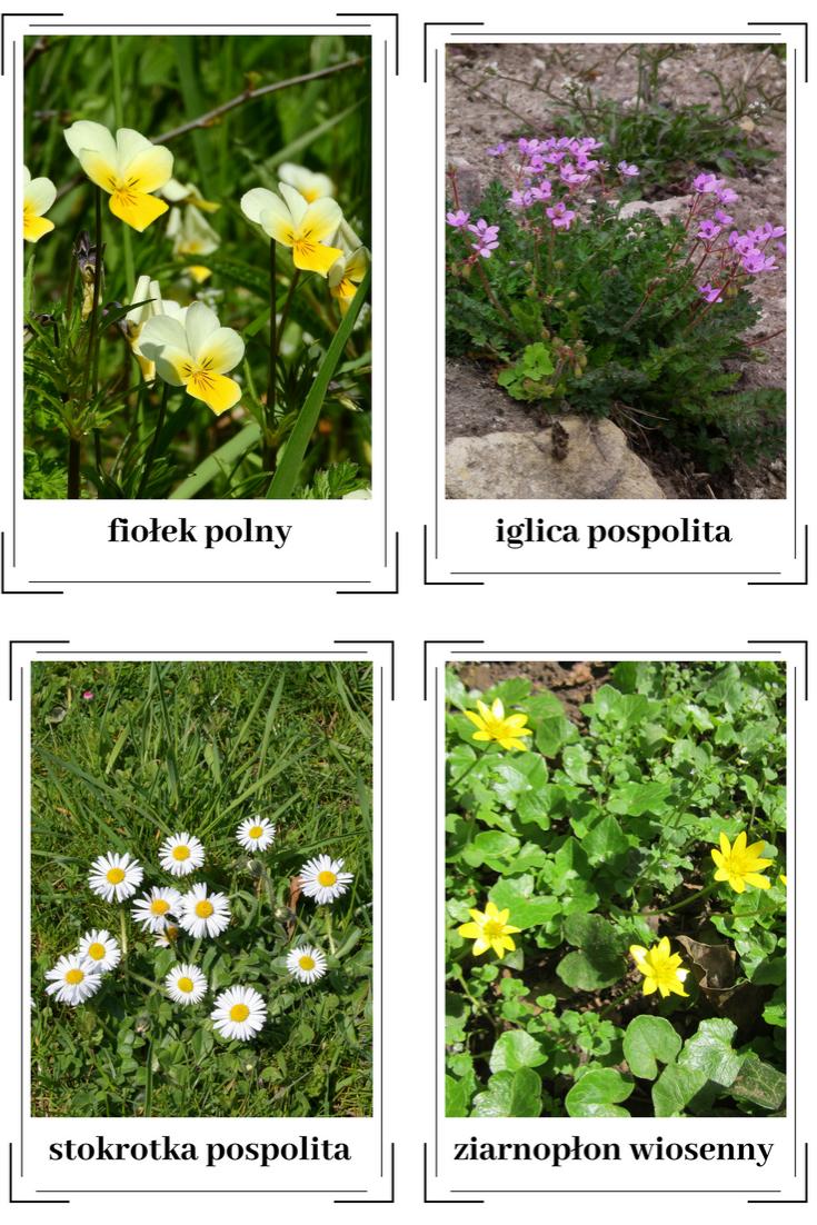 Kwiaty Polne Polski Plansze Edukacyjne Bity Inteligencji Karty Flash Plants Herbs
