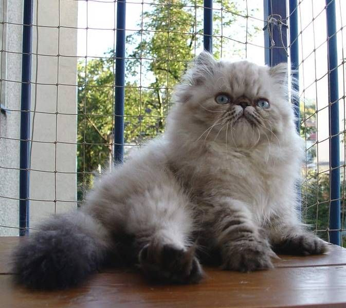 Silver Tabby Persian With Images Persian Cat