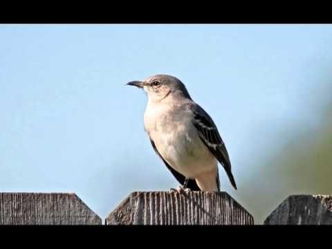 Northern Mockingbird singing at night June 29, 2012, posted
