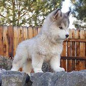 Diese kleine Nase! #husky #animals #dogs #siberianhusky   - Hundefotos - #Animals #Diese #Dogs #Hundefotos #Husky #kleine #Nase #siberianhusky #babyhusky