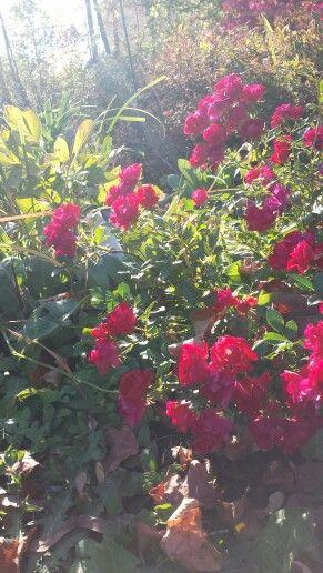 Afternoon Rosebush.  Photo by Mimi Smith 2013.