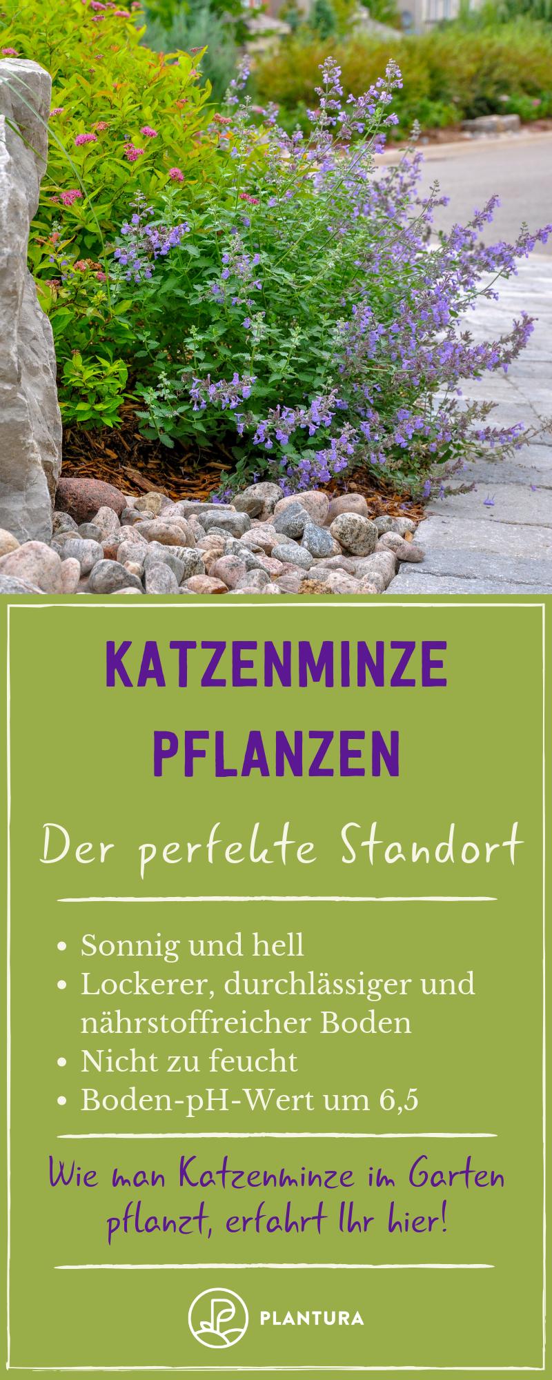 Katzenminze Experten Tipps Zum Kaufen Pflanzen Schneiden Plantura Katzenminze Pflanzen Minze Pflanzen
