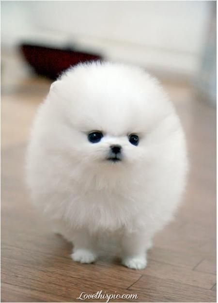 Fluffy White Pomeranian Animals White Dog Puppy Pets Fluffy Pom