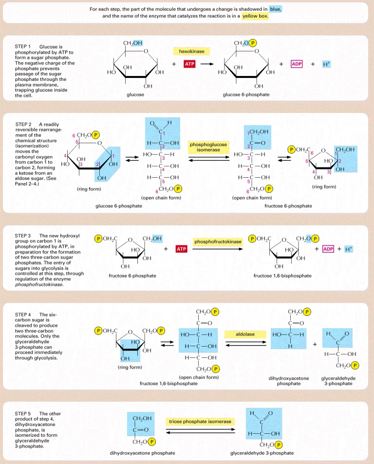 Panel 2 8 Details Of The 10 Steps Of Glycolysis Molecular Biology Of The Cell Ncbi Bookshelf Molecular Biology Biology Teaching Biology