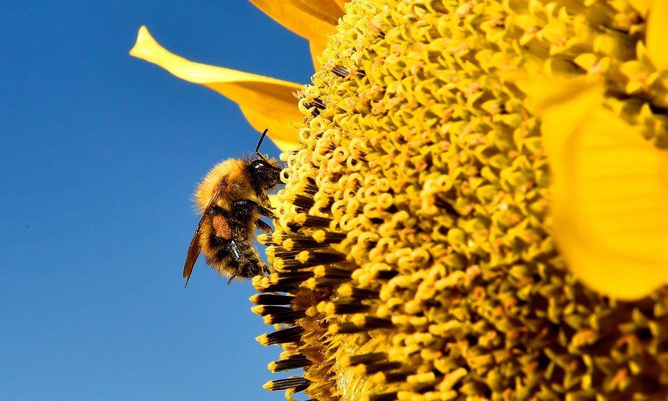 SONDEO: ¿Debería haber una prohibición completa de neonics para salvar nuestras abejas? »Centrándose en la Vida Silvestre