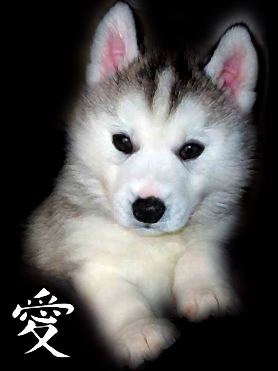 Baby Husky Coloring Pages Yahoo Image Search Results Baby Huskies Husky Baby Huskies For Sale