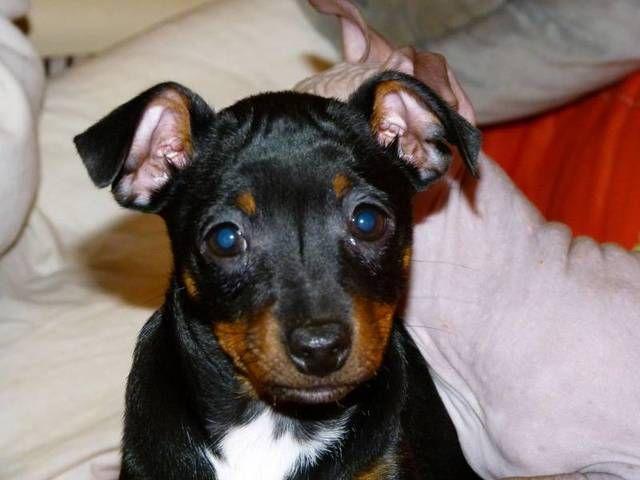American Rat Terrier Phot American Hairless Terrier Rat Terrier 27211 Rat Terriers Terrier Dogs