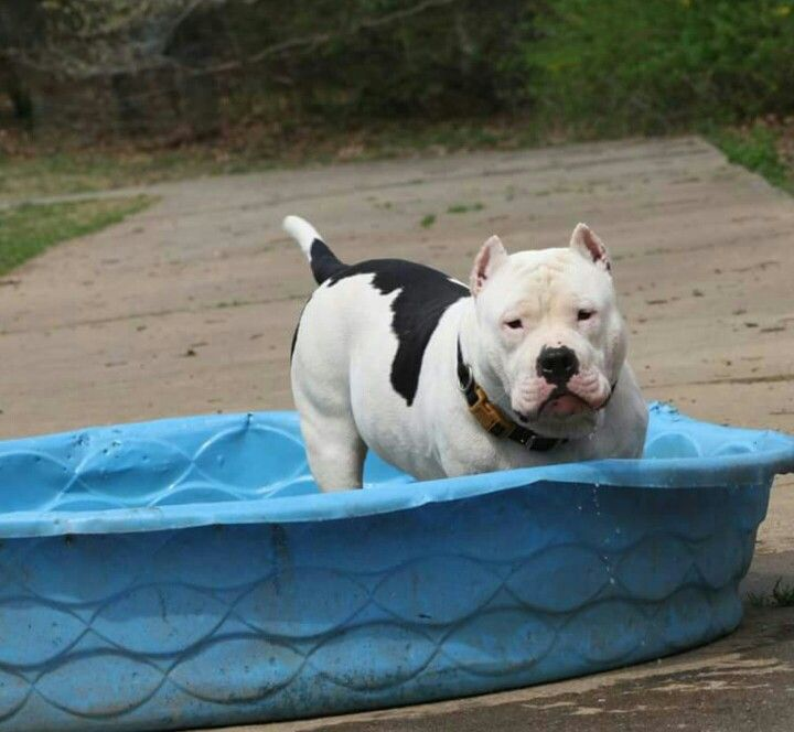 Big Country Cooling Down Pitbull Xxl American Bully Big Country
