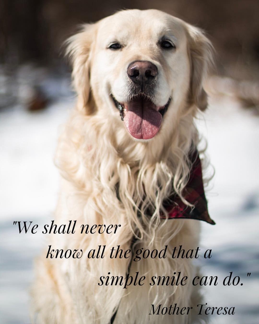 Golden Smile Golden Retriever Quotes Golden Retriever