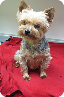Santa Monica Ca Yorkie Yorkshire Terrier Meet Jasmine A Dog