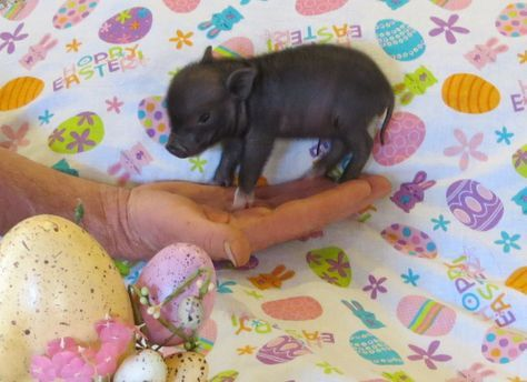 Tiny teacup pigs, micro mini pigs and pixie pigs, as seen on The Tonight Show, The Disney Channel,Last Man Standing and Nat Geo