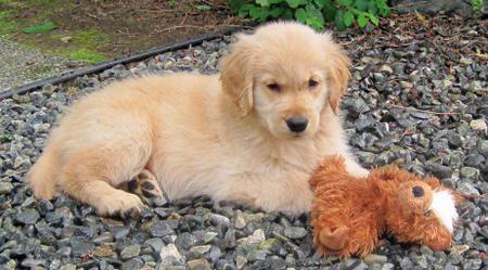 Sophie the Golden Retriever