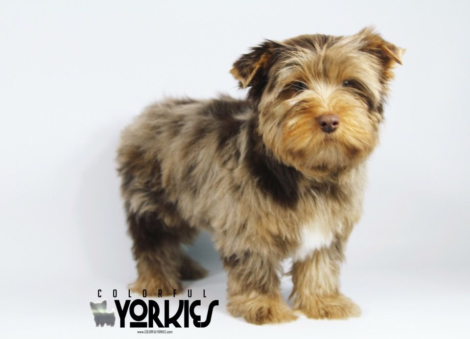 Chocolate Blue Diamond Merle Yorkie Available At Www