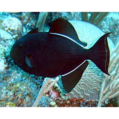 Hawaiian Black Triggerfish Melichthys Niger Poisson Corail