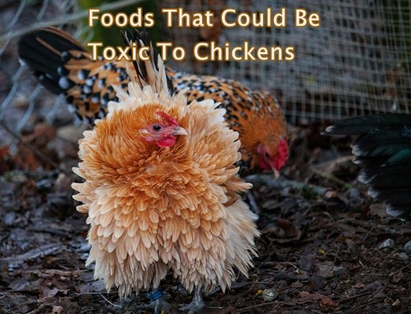 Foods That Could Be Toxic To Chickens Chickens Cows Goats Sheep Pigs Horses