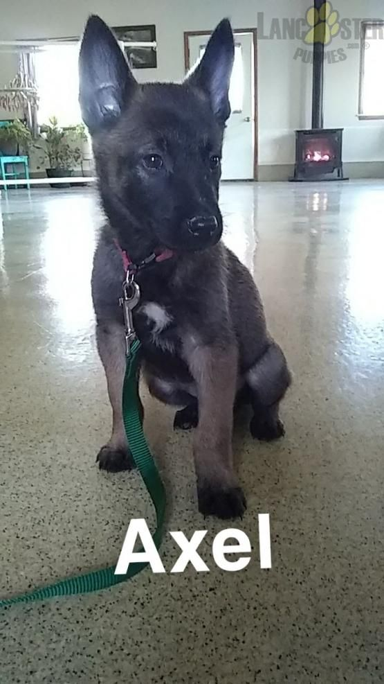 Axel - Belgian Malinois Puppy for Sale in Champaign, IL | Lancaster Puppies