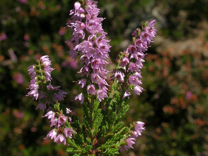 Calluna Vulgaris calluna vulgaris lowcalories lowcaloriesrecipes lowcaloriesfood