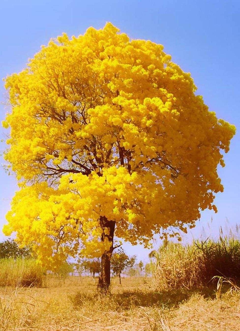 Ipê. Bom Despacho, Minas Gerais, Brasil. PCM | Imagens de arvores, Lindas paisagens, Árvores floridas