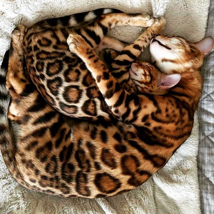 "🐈 Bengal Cat World 🐈📸🎞️❤️ on Instagram: ""A wonderful view of the Bengal cat asleep with her young daughter 🐈😻😸😍 #catsofig #catlady #catlover #cats_of_instagram #bengalcatsclub…"""