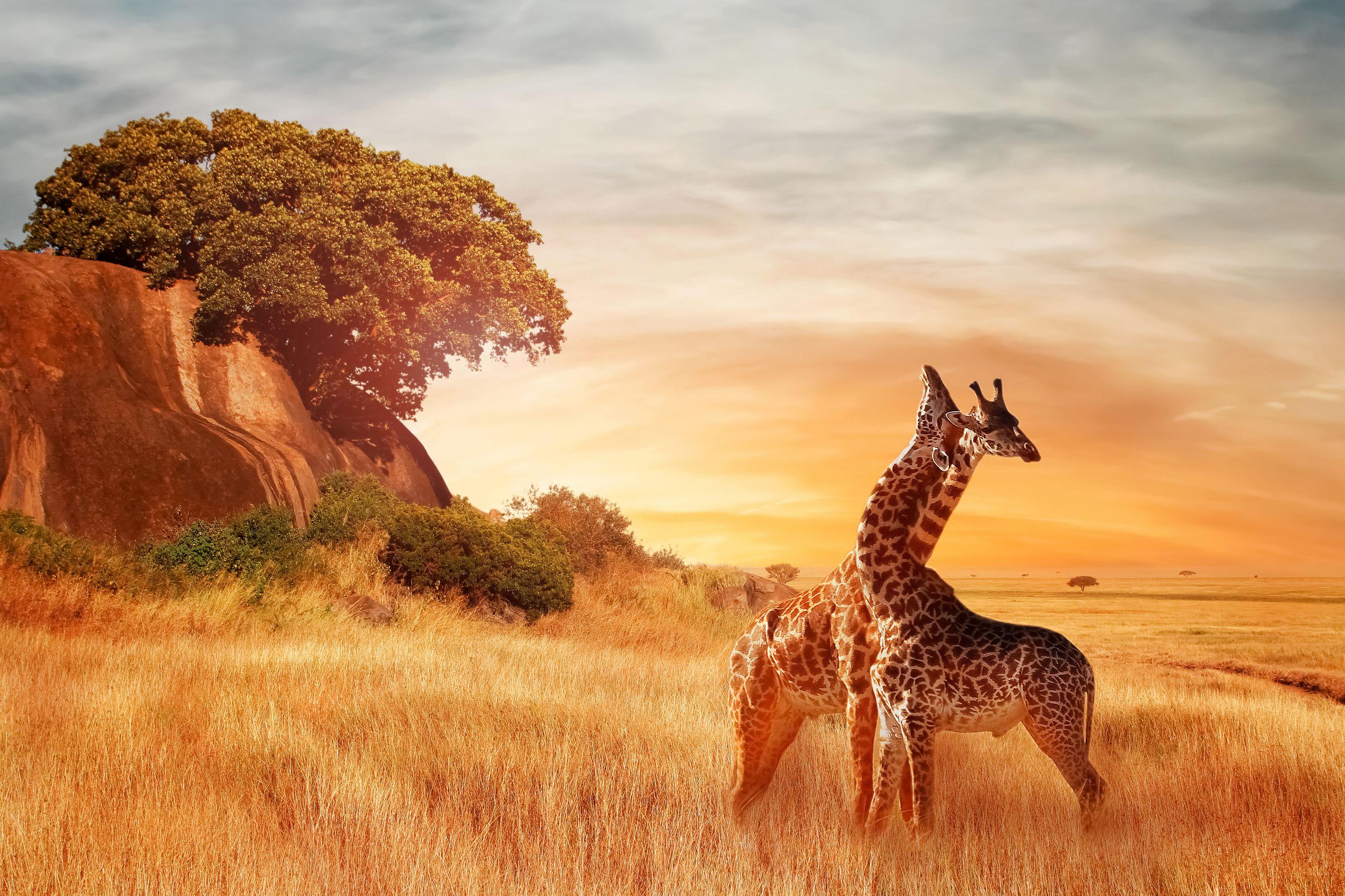 beautiful giraffes landscape sunset african travel